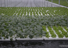 "Because growing lettuce hydroponic is in full development, there will also be a lot of test with several varieties, for example pak choi. Willem Bas: ""We have ordered as many seeds as possible to test. The ones that give the best results, will be chosen for cultivation."""