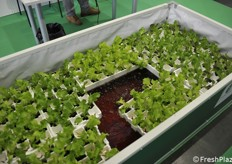 Aquaponic farming, with both fishes and plants within the same pool.