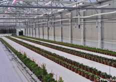 Greenhouse with lettuce, the intermediate phase of the breeding operation