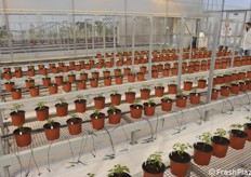 The light, humidity and irrigation in this greenhouse are managed in a completely automated manner, according to pre-defined parameters.