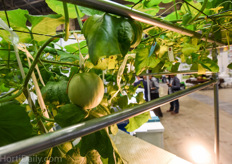 Hydroponic melon tree cultivation system from Machida.