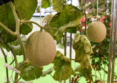 Hydroponic melons are a popular high wire greenhouse crop in Asia.