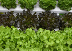 The consumption of lettuce is growing and thus the popularity of their varieties