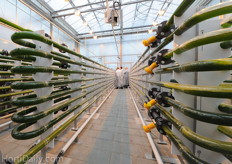 Another problem is that the algae crop is very sensitive to stress situations due to climate and nutrition conditions. This results in the deposition of algae on the inside of the tube. Therefore the system has to run special cleaning programs, which also makes the cultivation time intensive.